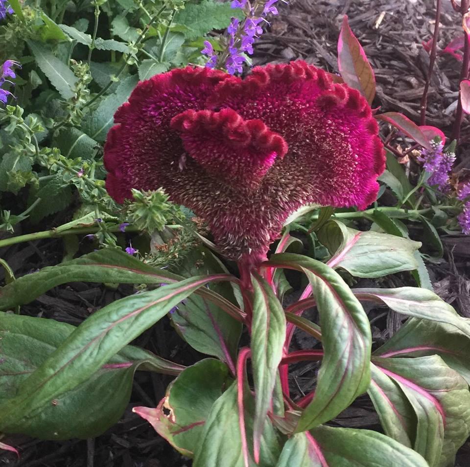 draculaflower